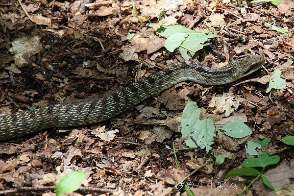シマヘビの画像 p1_20