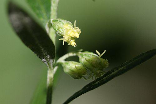 オオヨモギの花