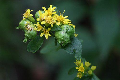 アキノキリンソウの花とアキノキリンソウミフクレフシ